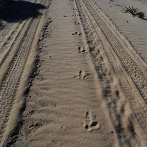 Emu tracks - Peak Charles NP