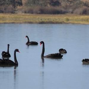 Black swans at Coongie Lake, 13 June 2018
