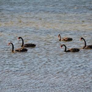 Pelican Lagoon