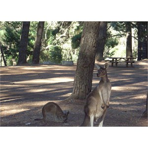 Roos in campground