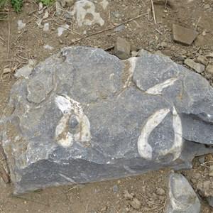 Brachiopod fossils