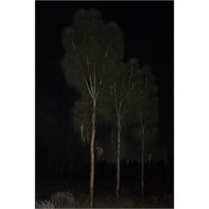 Desert oaks at night