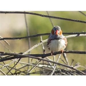 Flighty finch