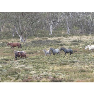 Abundant brumbies April 2016