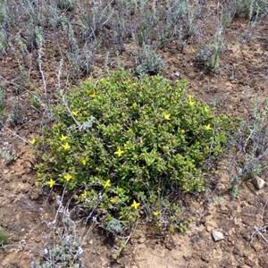Chinnock - Gunniopsis calcarea