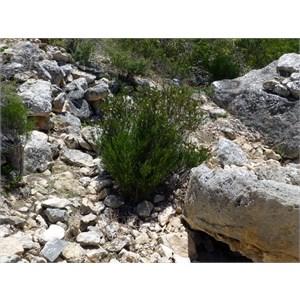 Poverty Bush - Eremophila alternifolia