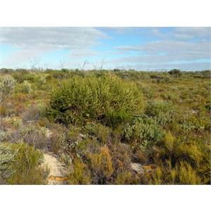 Swordfish Banksia -    Banksia elderiana