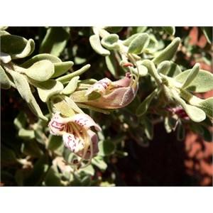 Eremophila forrestii ssp capensis 2009