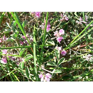 Indigofera boviperda subsp boviperda near Exmouth, WA