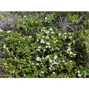 Goldfields Daisy - Olearia muelleri