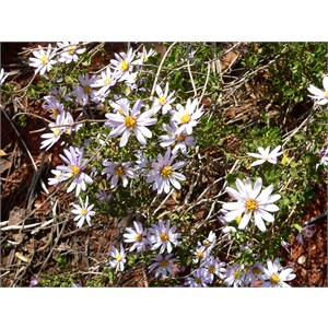 Goldfields daisy, Olearia muelleri near Lake Ballard, WA