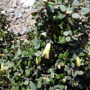 Correa backhouseana var. coriacea