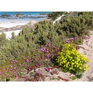 Disphyma crassifolium growing with other salt tolerant species, Fitzgerald River NP, WA
