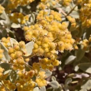 Golden Sand Sage