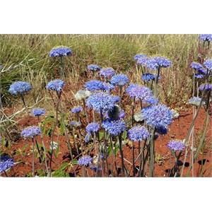 Native Cornflower - Brunonia australis