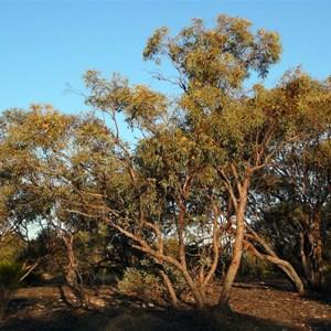 Red Mallee - Eucalyptus socialis