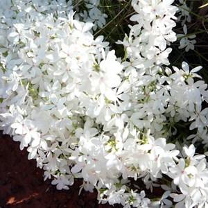 Snow Flower - Macgregoria racemigera