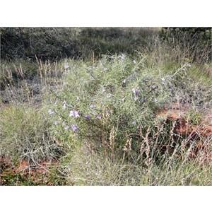 Desert Fuschia - Eremophila gilesii