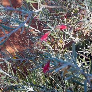 Crimson Turkey Bush - Eremophila latrobei