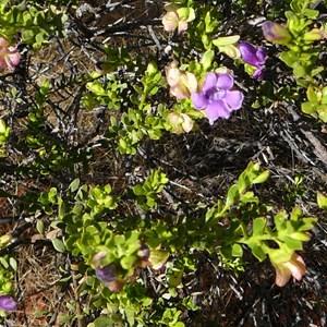 Wills' Desert Fuschia - Eremophila willsii