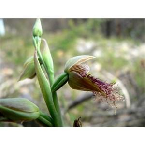 Calochilus gracillimus