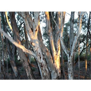 River Red Gum - Younger trees have smooth mottled bark.