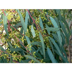 """River red gum buds showing characteristic """"beak"""" on the bud cap"""