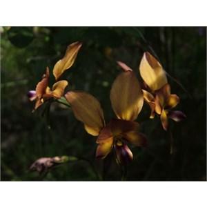 Dunsborough Donkey Orchid