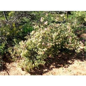 Yellow Leuschenaultia