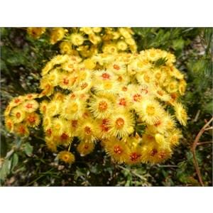 Feather Flower - Verticordia