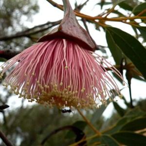 Eucalyptus pyriformis