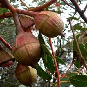 Eucalyptus pyriformis buds