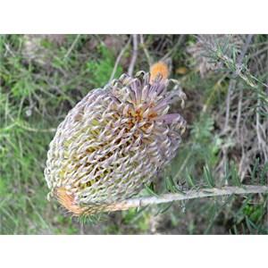 Banksia sphaerocarpa