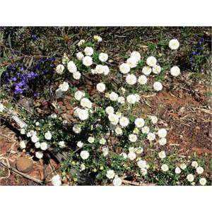 Pimelea or Riceflower