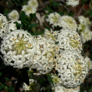 Pimelea or Riceflower