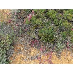 Grevillea thyrsoides