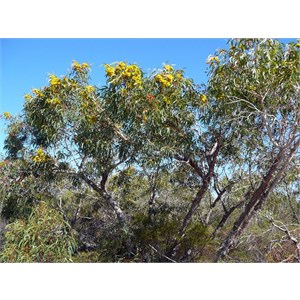Illyarrie - Eucalyptus erythrocorys