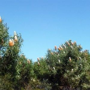 Acorn Banksia - Banksia prionotes