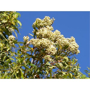 Bloodwood buds form dense clusters at the ends of branches