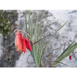 Blancoa canescens or Red Bugle