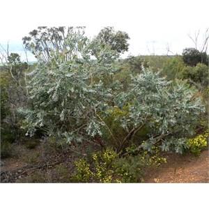 Tallerack, Eucalyptus tetragona