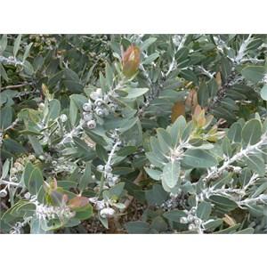 Eucalyptus tetragona or Tallerack