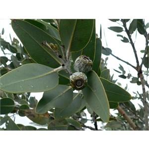 Eucalyptus tetragona or Tallerack in Stirling Ranges NP. WA