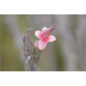 Kangaroo Island Gland Flower