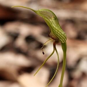 Common Bird Orchid , Pterostylis barbata