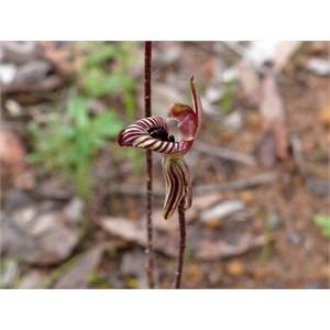 Caladenia cairnsiana