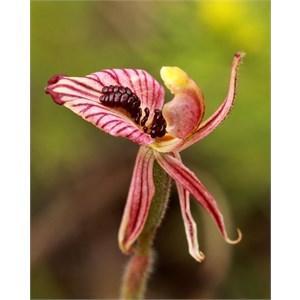 Zebra orchid, Caladenia cairnsiana