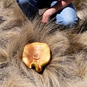 Giant Bolete or Phlebopus marginatus