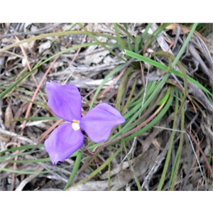 Silky Purple Flag or Patersonia sericea