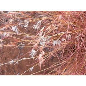 Kangaroo Grass, Themeda triandra